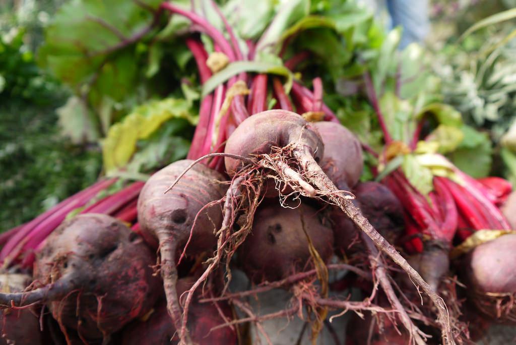 La culture de la betterave à sucre en Normandie
